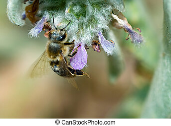 Honeybee in a Flowering Lambs Ear Plant