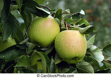 Golden Apples - A gorup of yellow golden delicious apples on...