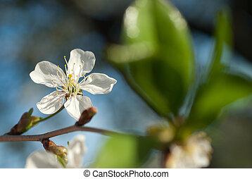 azul, maçã, flor, primavera, árvore, contra, céu