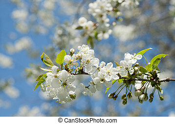 spring blossom of apple tree against blue sky