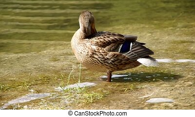 Duck standing on the shore of the pond and, clean the...