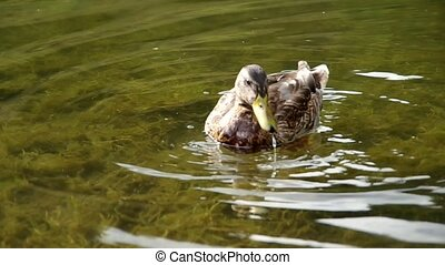 Duck floats on the water and eats bread