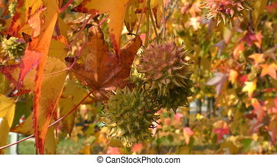 liquidambar fruits hanging from the tree that move with the...