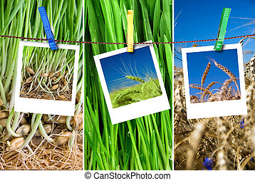 photos of wheat hang on rope with pins Seasonal growth...