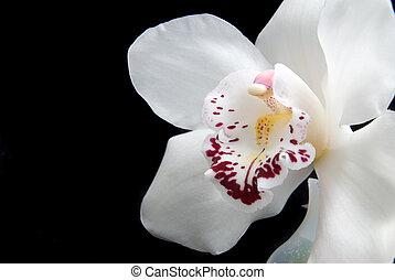 Uppe, isolerat, svart, nära, vit, orkidé