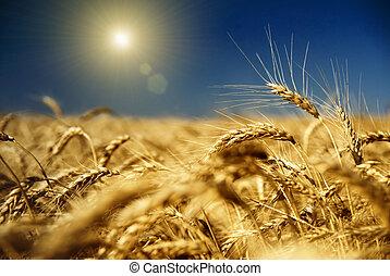 oro, trigo, azul, cielo, sol
