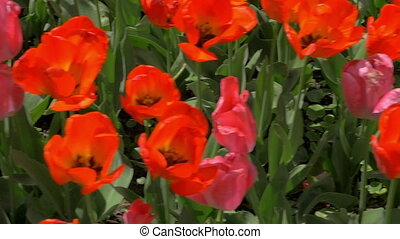 In the field of red tulips - Slow motion steadicam shot of...