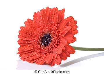 Red daisy-gerbera with water drops isolated on white