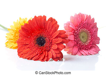 daisy-gerbera with water drops isolated on white