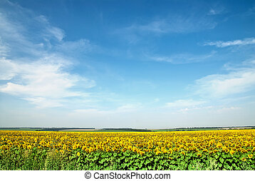 sunflower field over blue sky