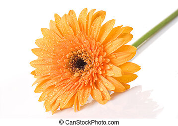 Yellow daisy-gerbera with water drops isolated on white