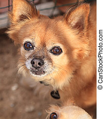 Small long haired Chihuahua mixed breed dog with big eyes...