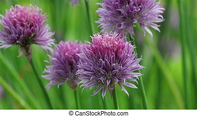 Violet chives flower - Close view of the round violet chives...