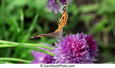 Chives flower and Painted lady butterfly - Painted lady...