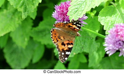 Butterfly on a flower - A painted lady butterfly on a chives...