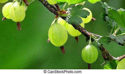 Gooseberry berries plant - Closeup of a green gooseberry...