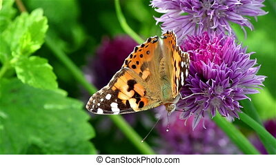Painted lady butterfly on a flower - A big painted lady...