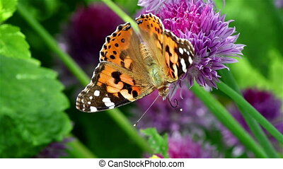 Nice butterfly on a violet flower - A nice painted lady...