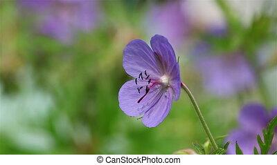 Blue geranium flower - A blue geranium flower in a garden...