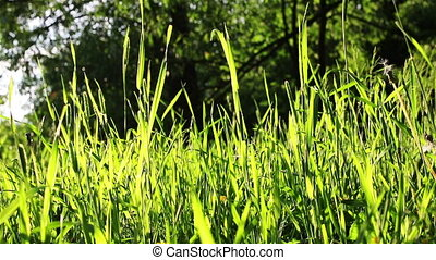 Bright summer herbs - Bright green grass swinging on the...