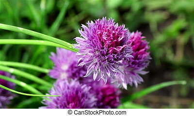 A nice chives flower - Closeup of a violet chives flower on...