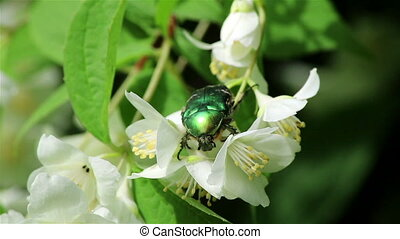Green chafer bug - Close view of a green chafer maybug...