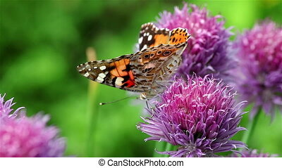 Painted lady butterfly on a chives flower - A round violet...