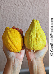 The hands holding the ritual citrus - etrog - Autumn holiday...