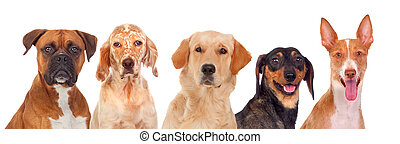 Differents dogs looking at camera isolated on a white...