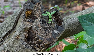 New leaves growing out of dead old tree log, nature stock...