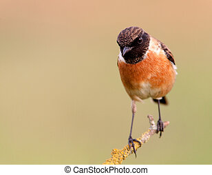 Nice specimen of male Stonechat with flowered background