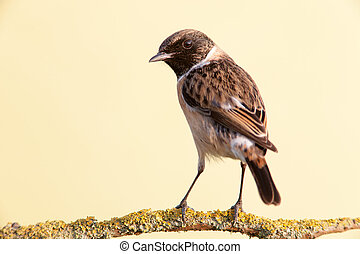 Nice specimen of female Stonechat on a branch
