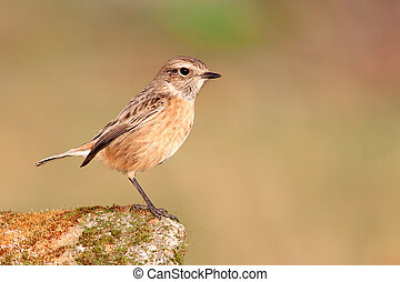 Nice specimen of female Stonechat on a stone