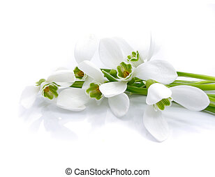 bouquet snowdrops isolated - bouquet snowdrops isolated over...