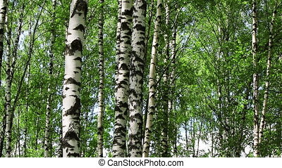 Birch trees tilt - View of birch trees with camera going up...