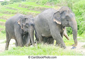 elephant herd ,young elephants - elephant herd or young...