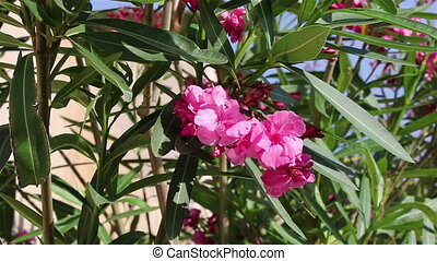 Pink flowers on the wind - Background of pink flowers on the...