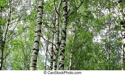 Birch trees in a forest - Birch trees in a nice sunny summer...