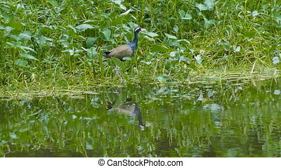 Bronze-winged Jacana flying off - Bronze-winged Jacana Bird,...