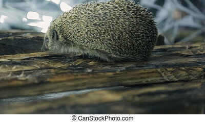 Little hedgehog finds two gold wedding rings on tree. Small...