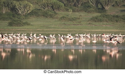Large Group of pelicans in slow motion - Slow motion of...