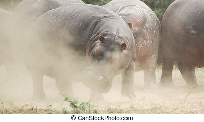 Angry hippo kicks in super slow motion - Side view shot in...