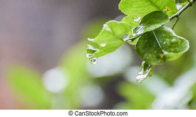 Rain drops falling from wet leaf, beautiful natural HD stock...
