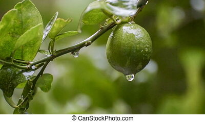 Rain water drops from lime fruit footage - Rain water drops...