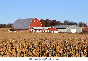 Corn field with Dairy farm in the background