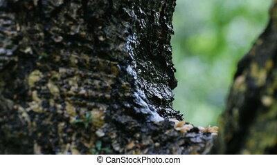 Rain drops falling from tree branch, nature stock footage of...