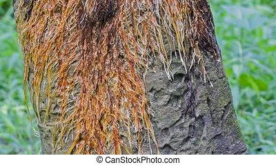 Tree roots footage, tilt effect - Tree roots footage - tilt...