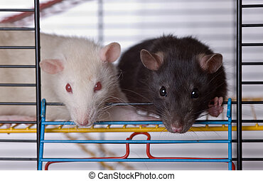 Two curious rats