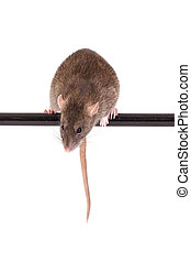 rat on black crossbar - brown domestic rat on black...