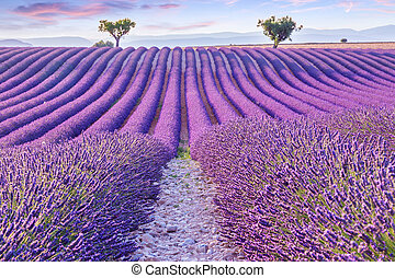 Lavender field summer sunset landscape